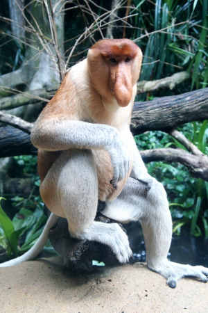 proboscis monkey with a very human gaze