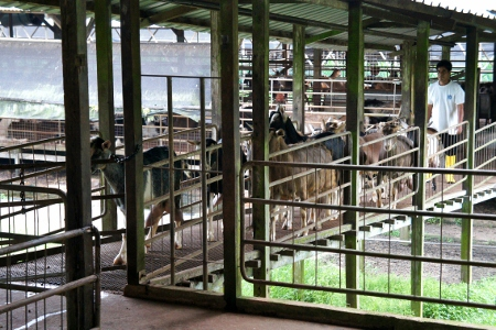 goats arriving for milking