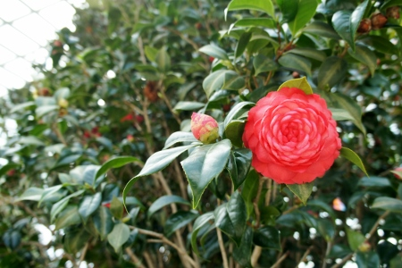 camellia but Anya insisted it was a rose
