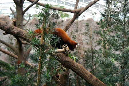 very active red pandas