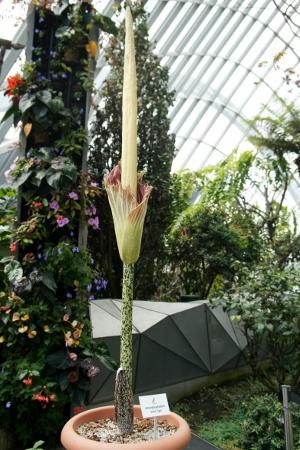 Amorphophallus 'John Tan'