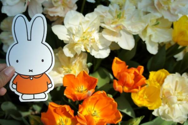 white and orange tulips