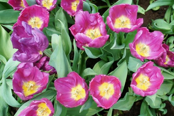purple ones with yellow centres