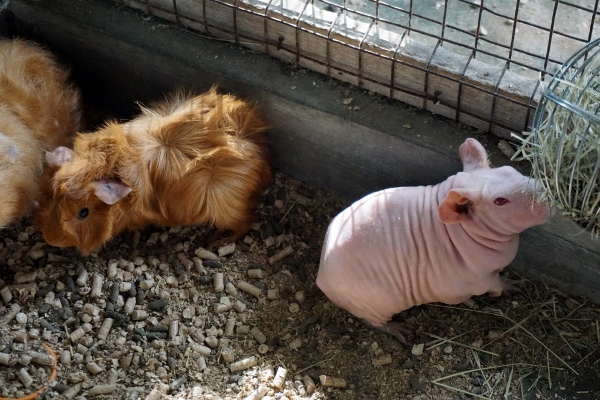 guinea pig and skinny pig (I kid you not)