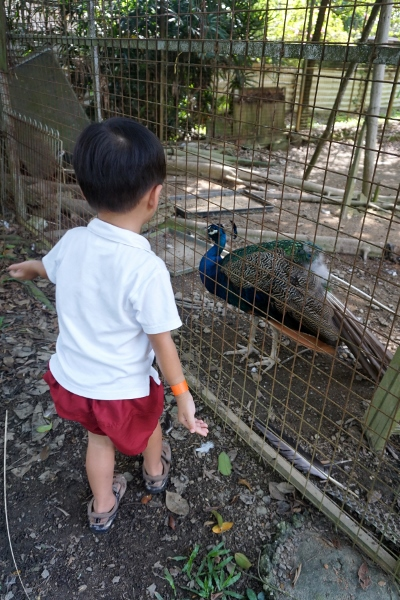 checking out the peacocks