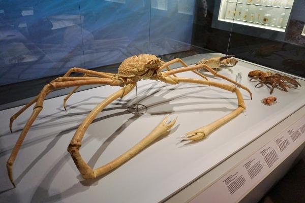 huge spider crab