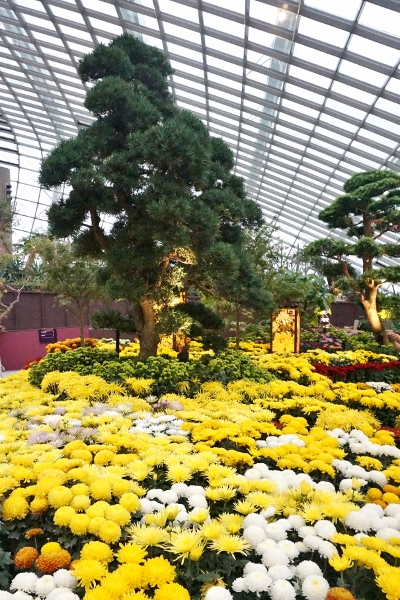 Celebration of Chrysanthemums