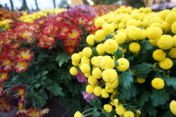 their favourite chrysanthemums